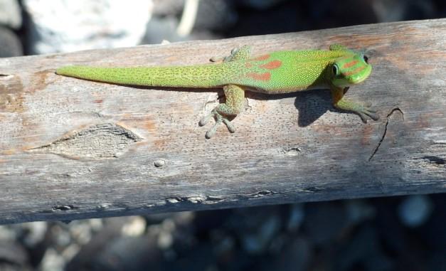 GeckoKi'i#2-6